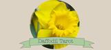 Daffodil-Tarot
