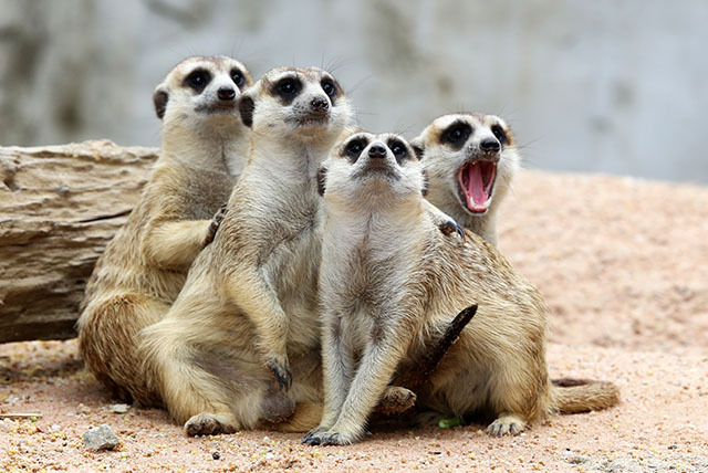 £24.99 for a 'meet the meerkat' experience for 1, £39.99 for 2 at The Animal Experience @ the Raptor Foundation, Cambridge - save up to 55%