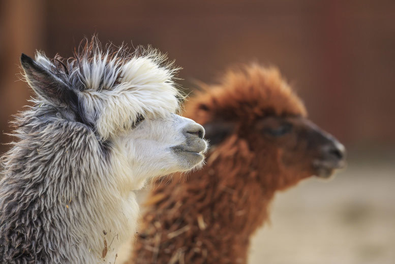 Charnwood Forest Alpaca Trekking & Sparkling Afternoon Tea for 2