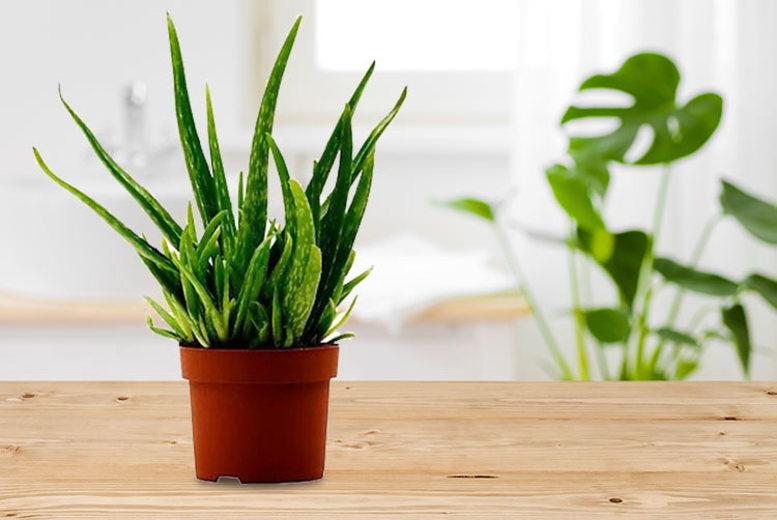 Medicinal Aloe Vera Table Plant for £14.99