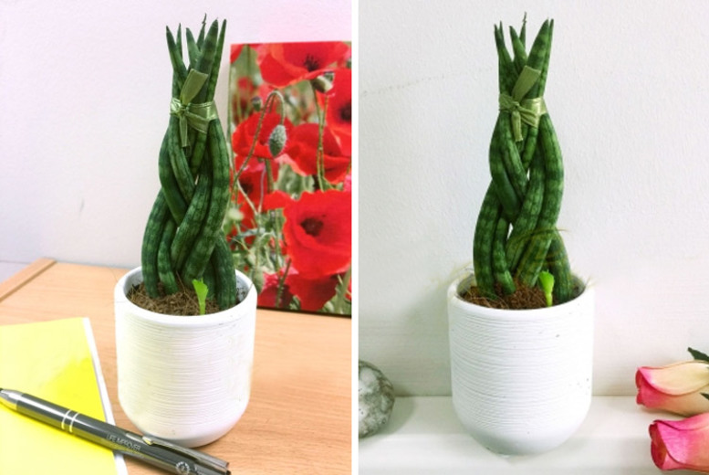 Sansevieria Cylindrica Braided Snake Plant for £12
