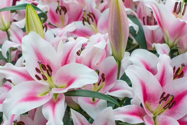 5, 10 or 20 Skyscraper Lily Bulbs from £9.99
