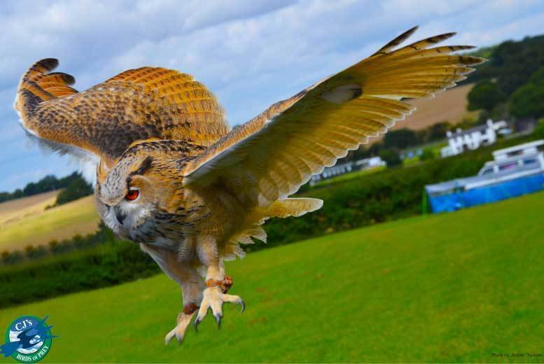 Activities: Birds of Prey or Owl Experience - Hertfordshire or Cambridgeshire!