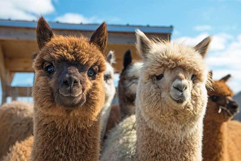 'Walk With Alpacas', Cream Tea & Farm Entry @ Willow Tree Family Farm