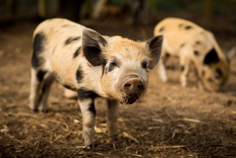 £16 instead of £28 for a two-hour micro pig experience for one person, or £39 for four people at Kew Little Pigs, Beaconsfield - save up to 43%