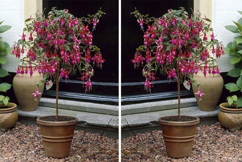 2 Flowering Standard Fuchsia Trees