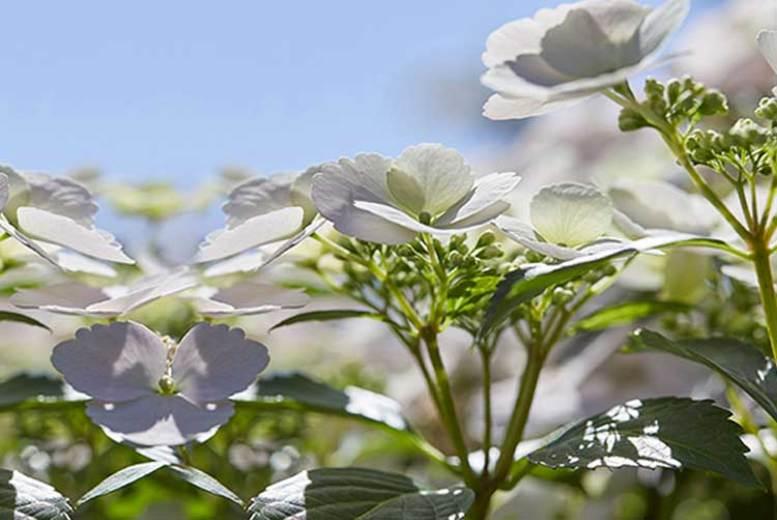 2x Hydrangea Runaway Bride Plants w/ Pot