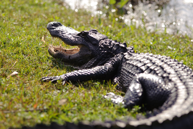 £49 instead of £99 for a crocodile experience for one person at Exotic Zoo, Telford - get up close and save 51%