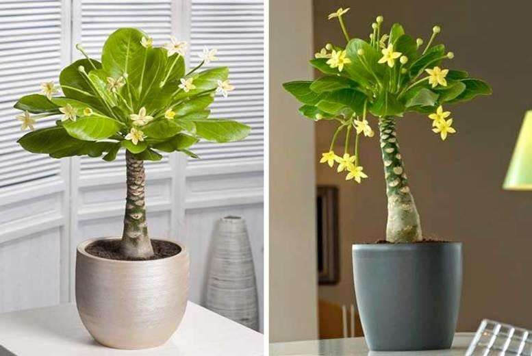 Hawaii Palm Plant – 1 or 2! (£14.99)
