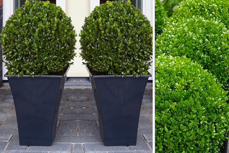£24 instead of £78.99 for two topiary buxus from Plant Store - save 70%