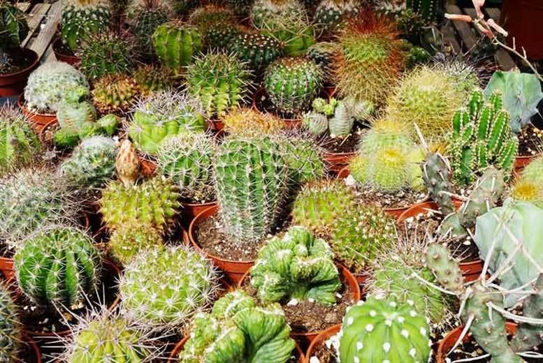 6 Assorted Indoor Cactus Plants (£9.99)