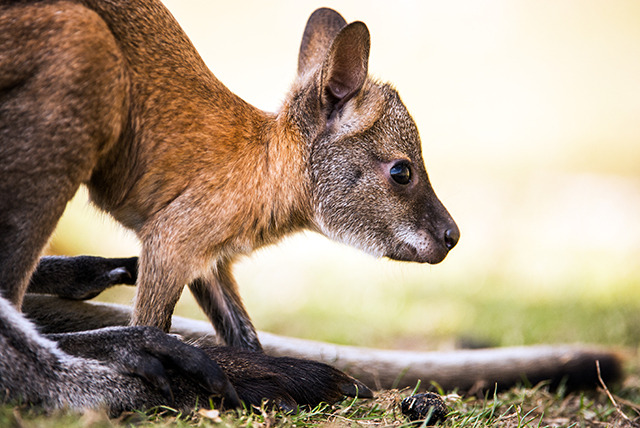 £10 for a 30-minute wallaby experience for 1 person, £15 for 2 people or £20 for 4 people at Lakeside Animal Park - save up to 60%