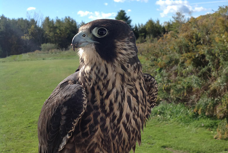 £16 instead of £50 for a one-hour hawk walk experience, or £19 for a 90-minute experience at North East Falconry, Ryton - save up to 68%