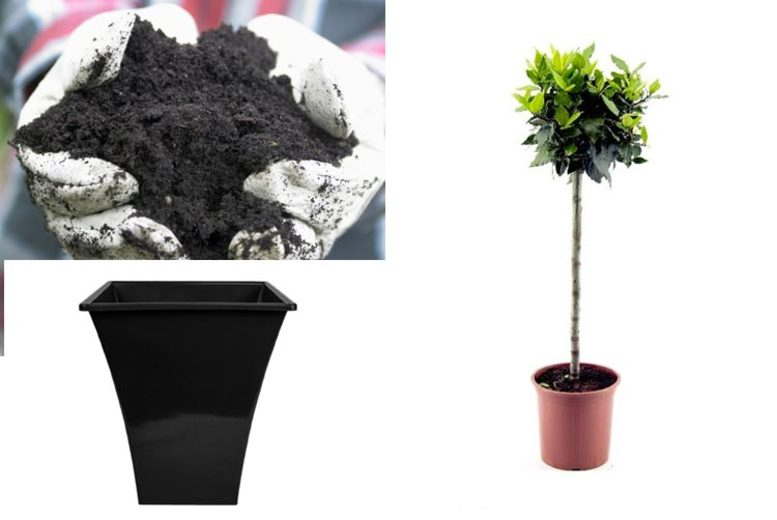 Lollipop Bay Tree Standard with optional Flared Planter and 10L Compost!