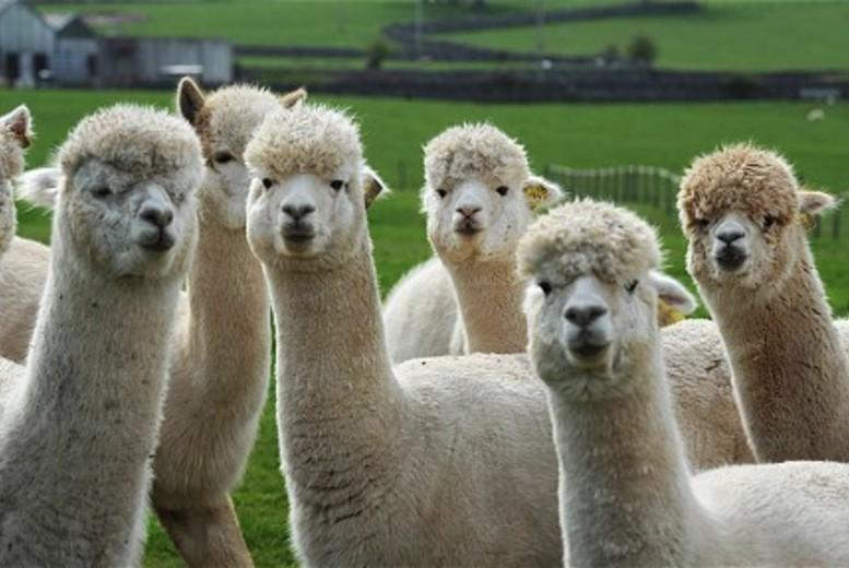 Activities: Alpaca Walk & Cream Tea @ Herrings Green Farm - For 2 or 4!