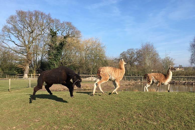 Activities: 1hr Alpaca Experience & Farm Entry @ White Peak Alpaca Farm