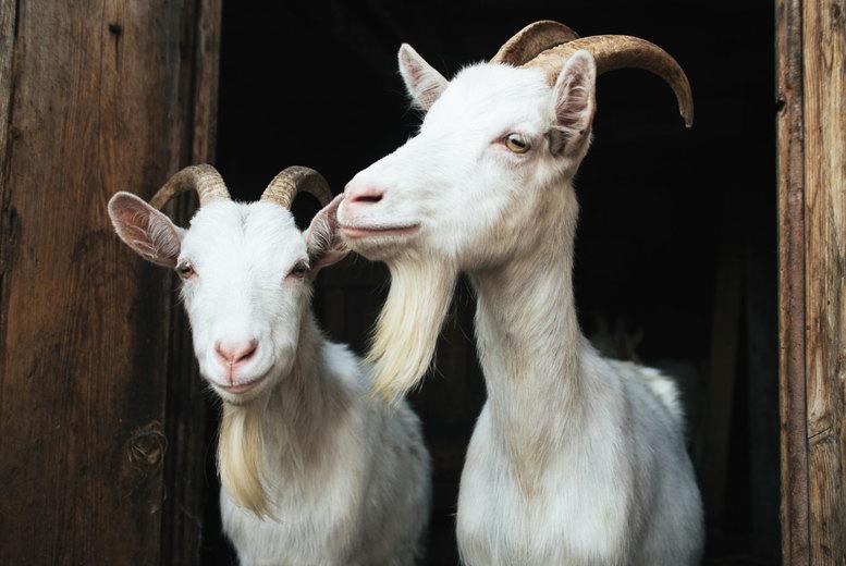 Activities: Goat Walking and Birds of Prey, Herrings Green Activity Farm- Family Option!