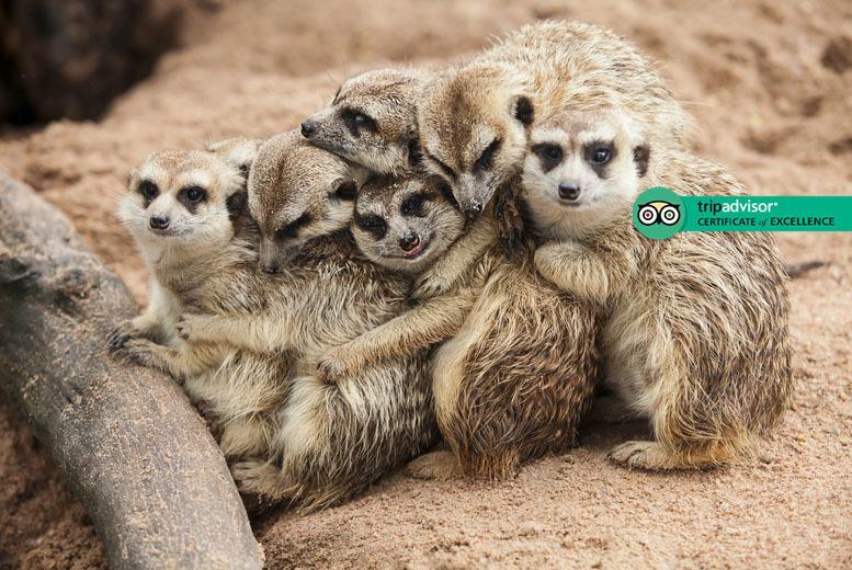 Activities: Meerkat Experience for 2 @ Hoo Farm Animal Encounters, Telford