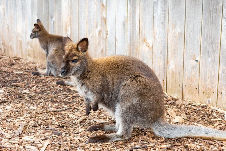 Activities: 'Meet the Wallabies' & Farm Entry for 2 @ Willow Tree Family Farm