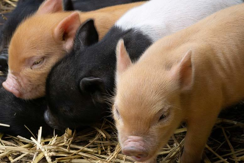 Activities: Miniature Piggy 'Pet & Play' @ Kew Little Pigs - Family Option!