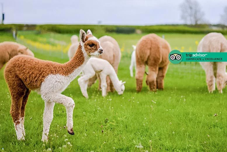 Activities: 1hr Baby Alpaca Feeding Experience @ Charnwood Forest