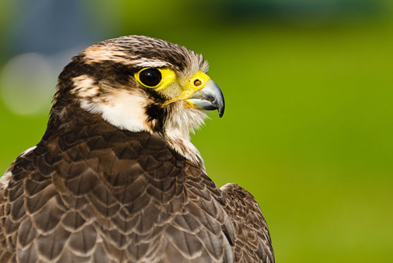 Activities: 2 or 3hr Falconry Experience @ Hawksflight Falconry