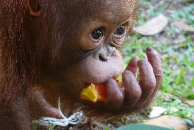 £799 instead of up to £1095 (from The Great Projects) for a 2wk all-inclusive Borneo orangutan, tribe & rainforest experience - save up to 27%
