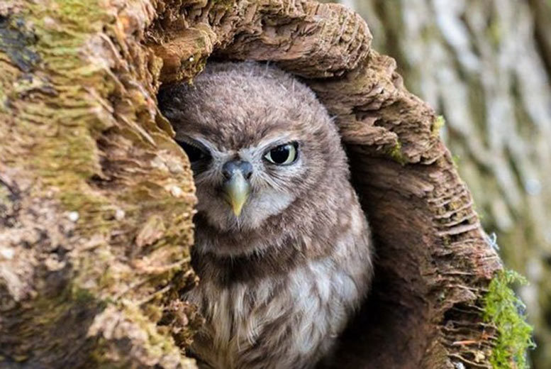 £19 instead of £65 for a 90-minute owl experience for one person, or £29 for two people at Shropshire Falconry - save up to 71%