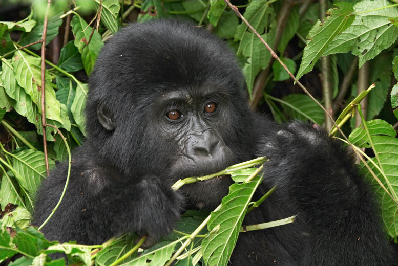 £2795 (from IWC) for a 7-day 'Gorillas in the Mist' Rwanda safari tour inc. , tour guide, 4x4 hire & excursions, £3795 inc. flights - save up to 38%