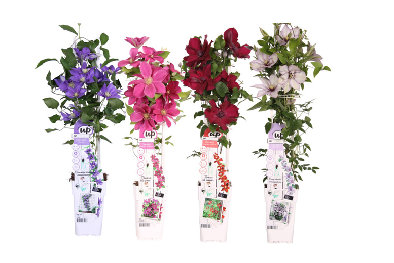 4 Clematis Plants - 4 Options!