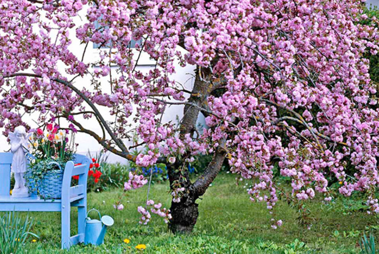 £19.99 instead of £39.98 (from Dobies of Devon) for 2 pink or 2 white ornamental weeping cherry trees - save 50%