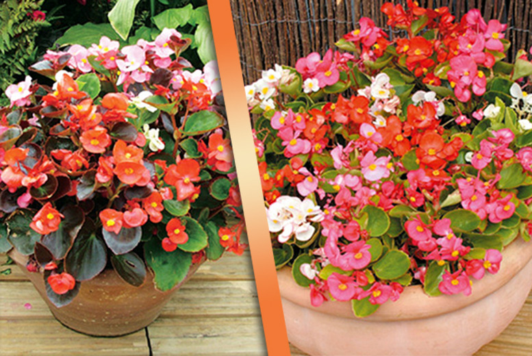 £9.99 instead of £23.96 (from Dobies of Devon) for a pack of 180  Begonia plug plants -  save 44%