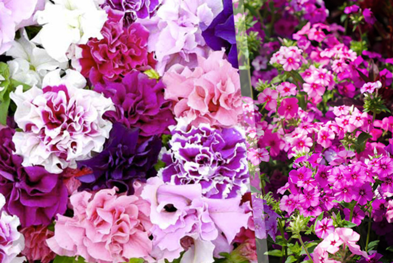 £9.99 instead of £23.96 (from Dobies of Devon) for a pack of 180 petunia plug plants -  save 58%