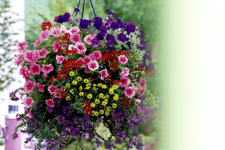 £19.99 instead of £31.99 (from Dobies of Devon) for 36 plug plants for hanging baskets - save 38%