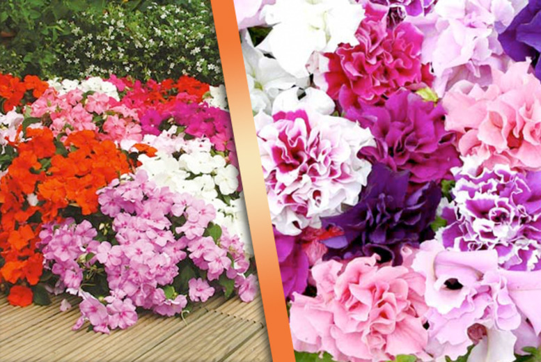 £14.99 instead of £35.94 (from Dobies of Devon) for 270 bedding plug plants - save 58%