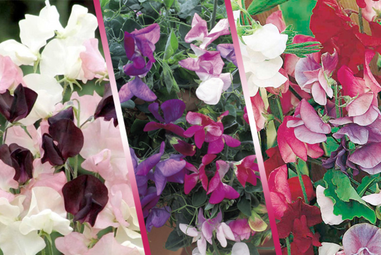 £9.99 instead of £23.97 (from Dobies of Devon) for 18 pot-ready sweet pea plug plants in a variety of colours - save 58%