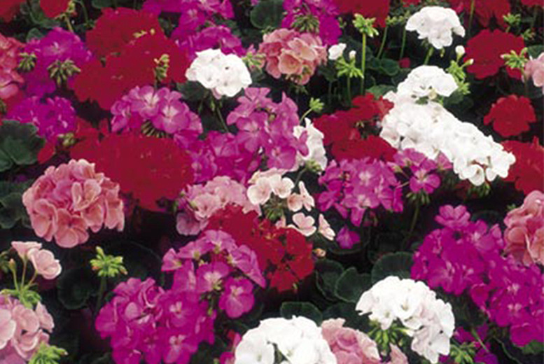 £8.99 (from Dobies of Devon) for 40 geranium plug plants, or £11.99 for 80 plants