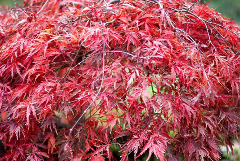 £19.99 (from Dobies of Devon) for 3 Japanese maple acer plants including 3 varieties and plant pots, £36.99 for 6 plants - save up to 56%