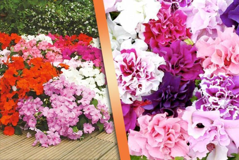 £14.99 instead of £41.94 (from Dobies of Devon) for 270 bedding plug plants - save 64%