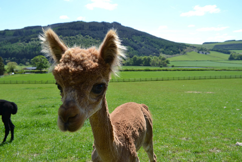 £19 instead of £40 for a 1-hour alpaca trek for 2  in Tweed Valley countryside from Velvet Hall Alpacas, Innerleithen - save 52%