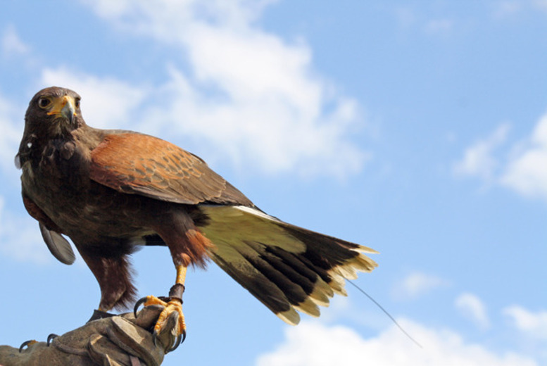 £19 for a Bird of Prey 'Halk Walk' Experience, £29 for 2 people or £58 for 4 from Cuerden Birds of Prey, Preston - save up to 58%