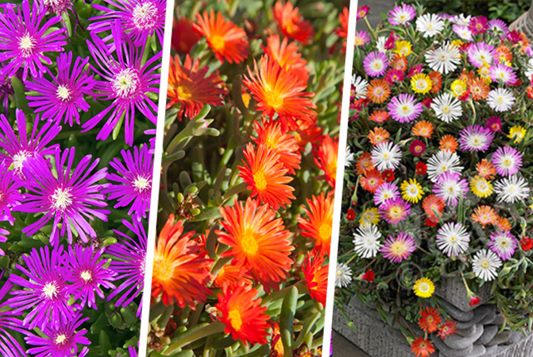 £8.99 instead of £14.99 (from You Garden) for 10x hardy ice plants - add some colour to your garden and save 40%