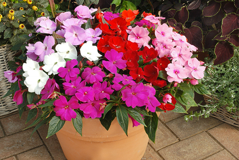 £8.99 instead of £14.99 (from You Garden) for 24 New Guinea Divine Busy Lizzie plug plants - save 40%