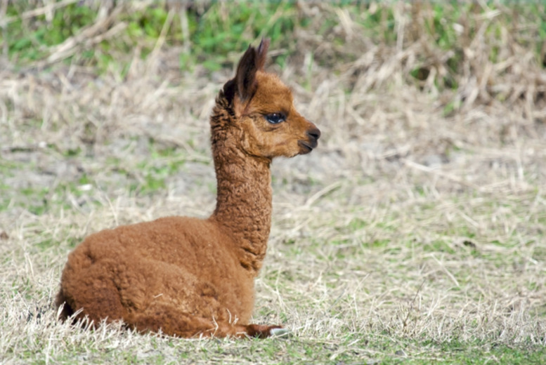 £24 instead of up to £50 for a 2½ hour alpaca trekking experience for 2 at Alpaca Annie, Kent - save up to 52%