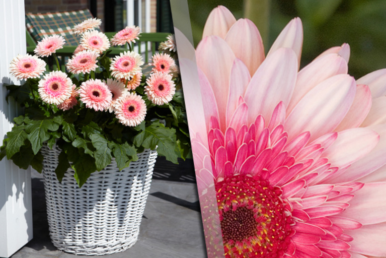 £14.99 instead of £29.98 (from You Garden) for 6 patio gerberas in 9cm pots - save a blossoming 50%