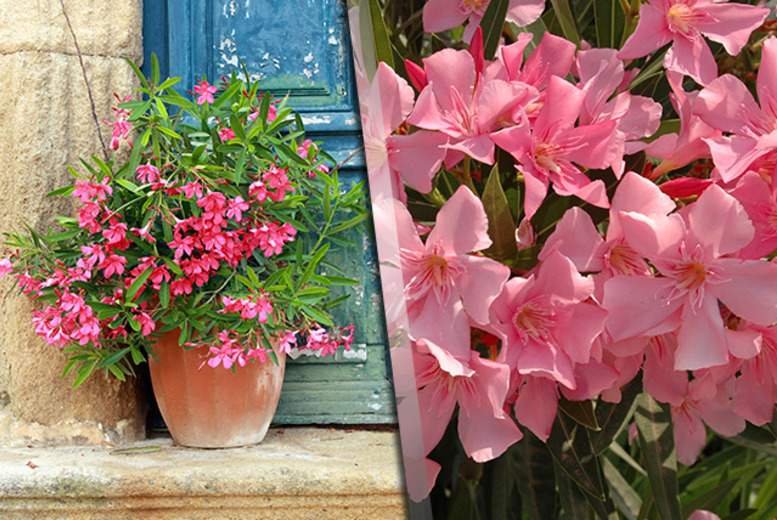 £12.49 instead of £24.99 (from You Garden) for a collection of three Mediterranean Oleander pot plants - save a blooming marvellous 50%