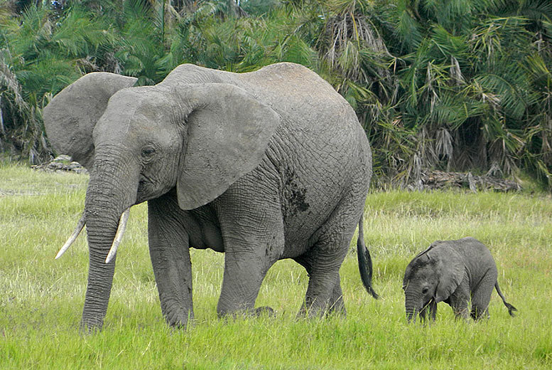 £19 instead of £30 for an 'adopt an elephant' pack from Born Free Foundation - save 37%