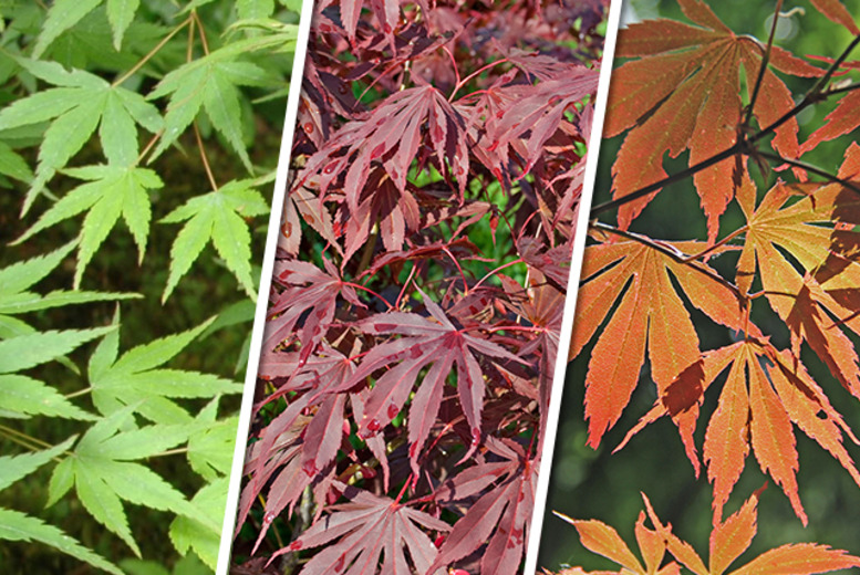 £17.99 for three Japanese maple plants, or £36 for six from You Garden