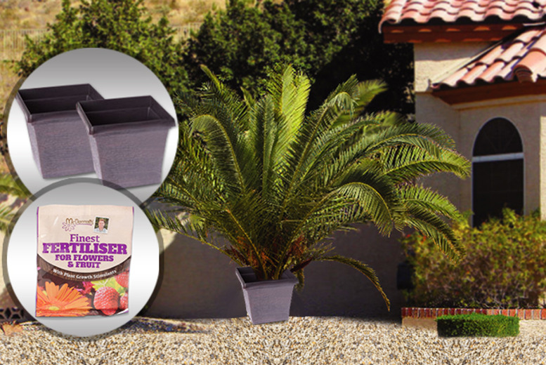 £15.99 instead of £27.97 (from You Garden) for a pair of Canary Island Date Palms, planter pots & fertiliser – save 43%