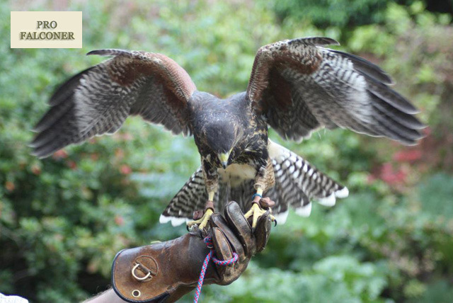 £19 instead of £60 for a half day bird of prey experience at Pro Falconer, Baginton - fly up to 3 birds of prey & save 68%